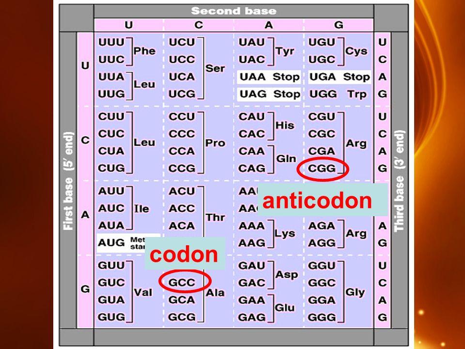 codon anticodon