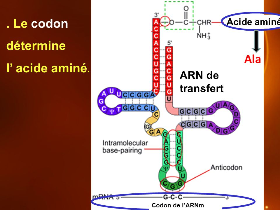 ARN de transfert Acide aminé Codon de lARNm. Le codon détermine l acide aminé. Ala