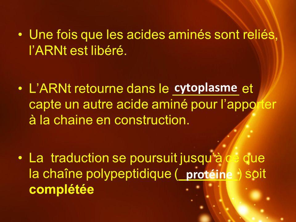 Une fois que les acides aminés sont reliés, lARNt est libéré. LARNt retourne dans le _________ et capte un autre acide aminé pour lapporter à la chain