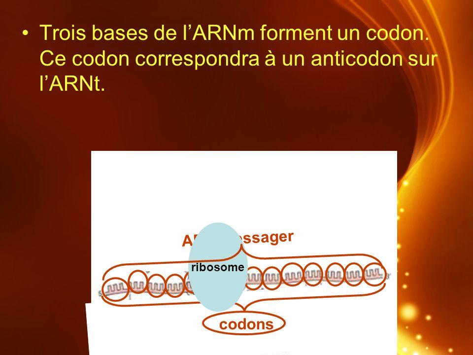 Trois bases de lARNm forment un codon. Ce codon correspondra à un anticodon sur lARNt. ARN messager codons ribosome