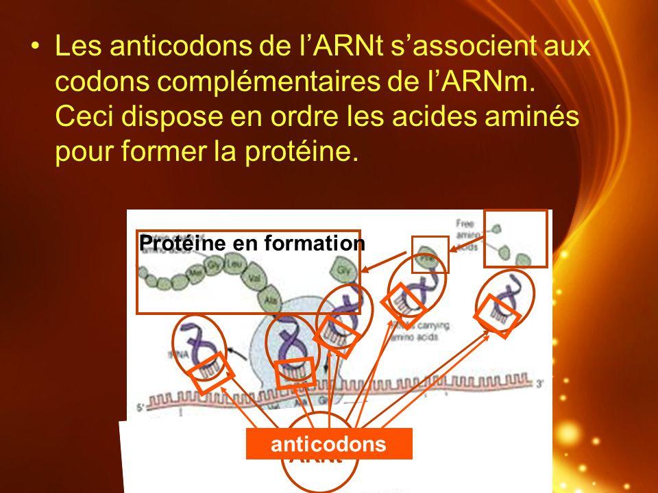 ARNt Protéine en formation anticodons Les anticodons de lARNt sassocient aux codons complémentaires de lARNm. Ceci dispose en ordre les acides aminés