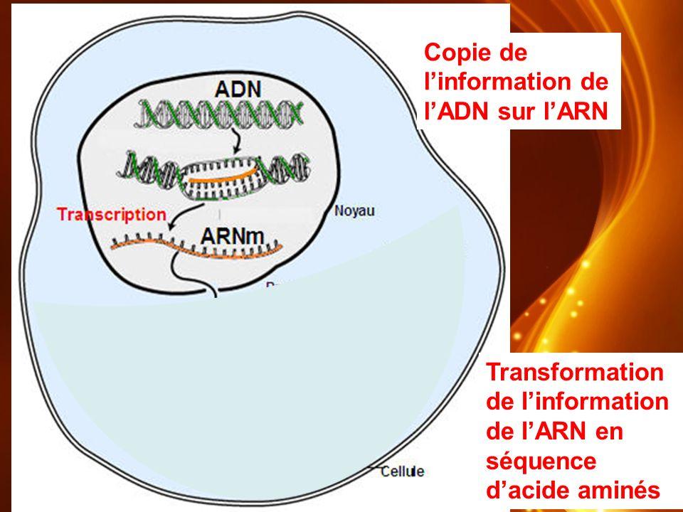Copie de linformation de lADN sur lARN Transformation de linformation de lARN en séquence dacide aminés