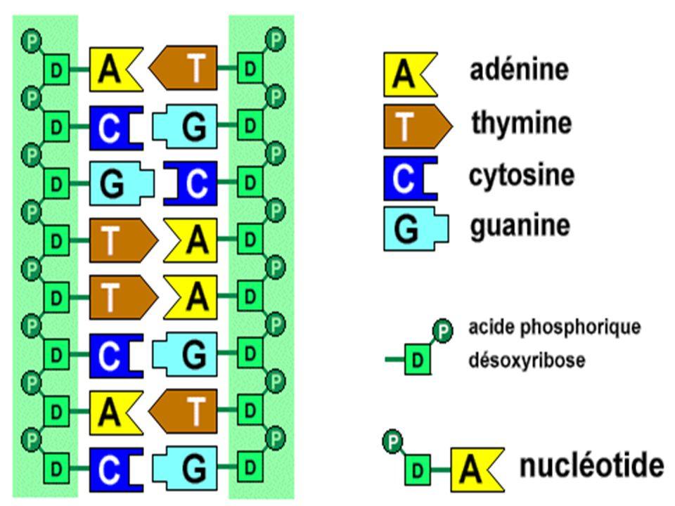 Dans lADN, la cytosine (C) est toujours associée avec la _______ (__) et ladénine (A) toujours avec la _______( __) Une enzyme sépare les deux brins de lADN.