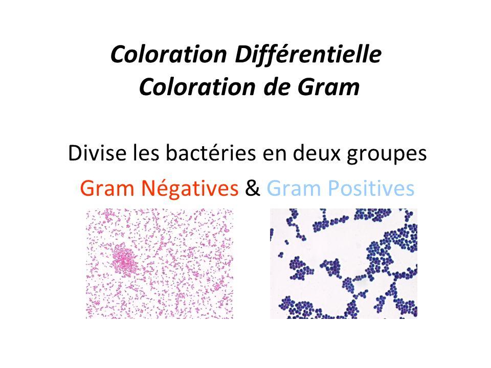 Coloration Différentielle Coloration de Gram Divise les bactéries en deux groupes Gram Négatives & Gram Positives