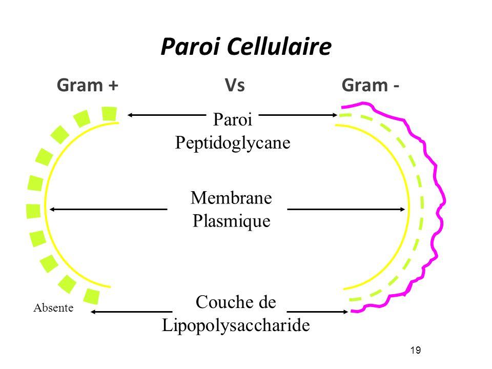 Paroi Cellulaire 19 Paroi Peptidoglycane Membrane Plasmique Couche de Lipopolysaccharide Absente Gram + Vs Gram -