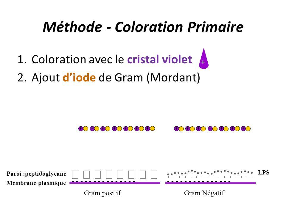 Méthode - Coloration Primaire 1.Coloration avec le cristal violet 2.Ajout diode de Gram (Mordant) + Gram positifGram Négatif - - - - - - - - - - - - -