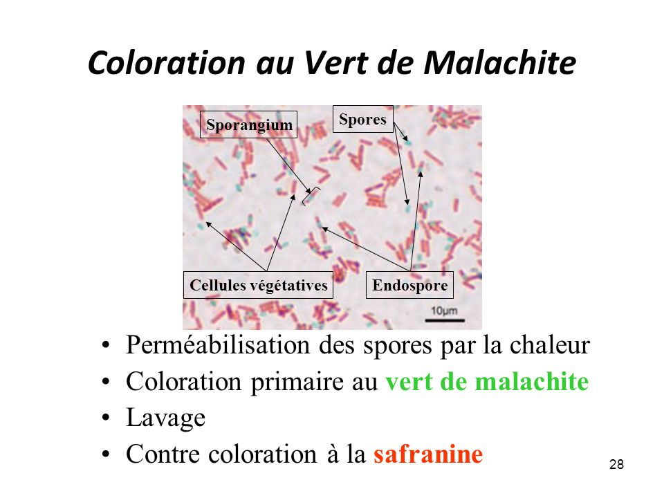 Coloration au Vert de Malachite Perméabilisation des spores par la chaleur Coloration primaire au vert de malachite Lavage Contre coloration à la safranine 28 Cellules végétatives Spores Endospore Sporangium