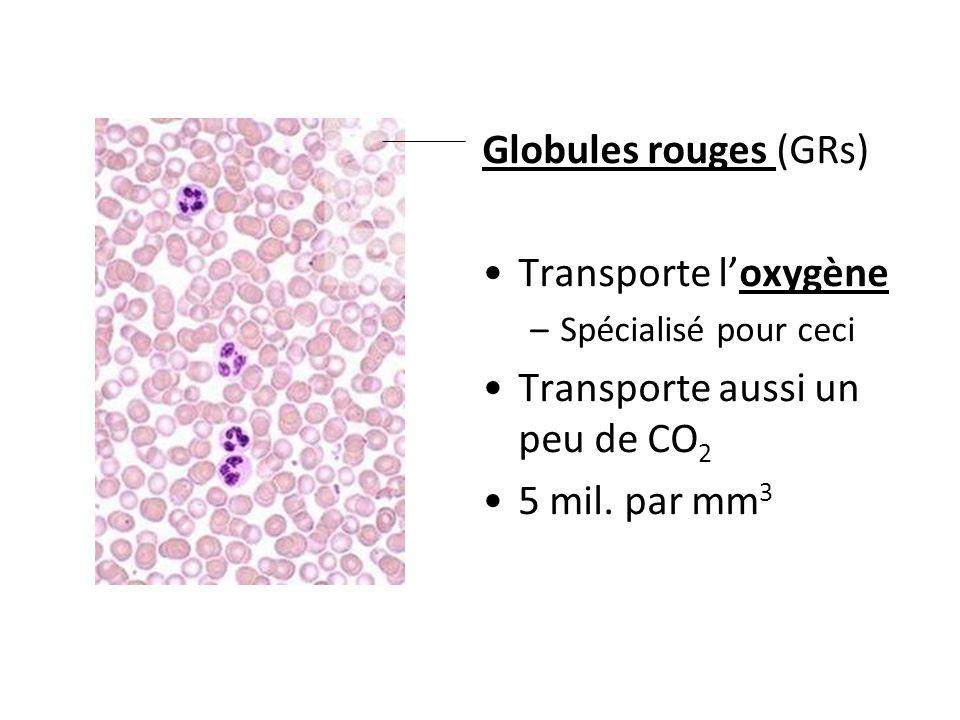Globules rouges (GRs) Transporte loxygène –Spécialisé pour ceci Transporte aussi un peu de CO 2 5 mil. par mm 3