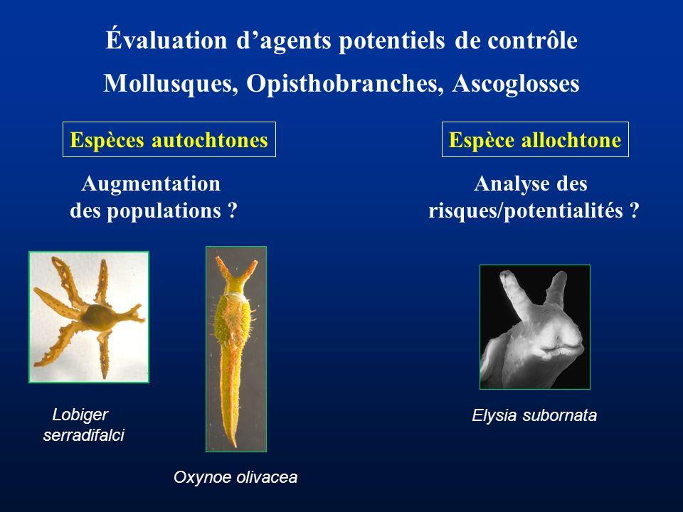 Évaluation dagents potentiels de contrôle Mollusques, Opisthobranches, Ascoglosses Espèce allochtone Elysia subornata Espèces autochtones Oxynoe oliva