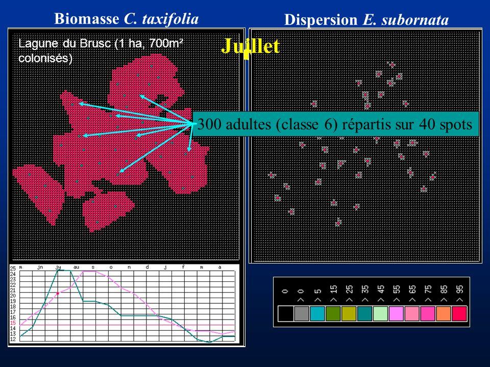 AoûtSeptembre Octobre Janvier Biomasse C. taxifolia Dispersion E. subornata Juillet 300 adultes (classe 6) répartis sur 40 spots Lagune du Brusc (1 ha