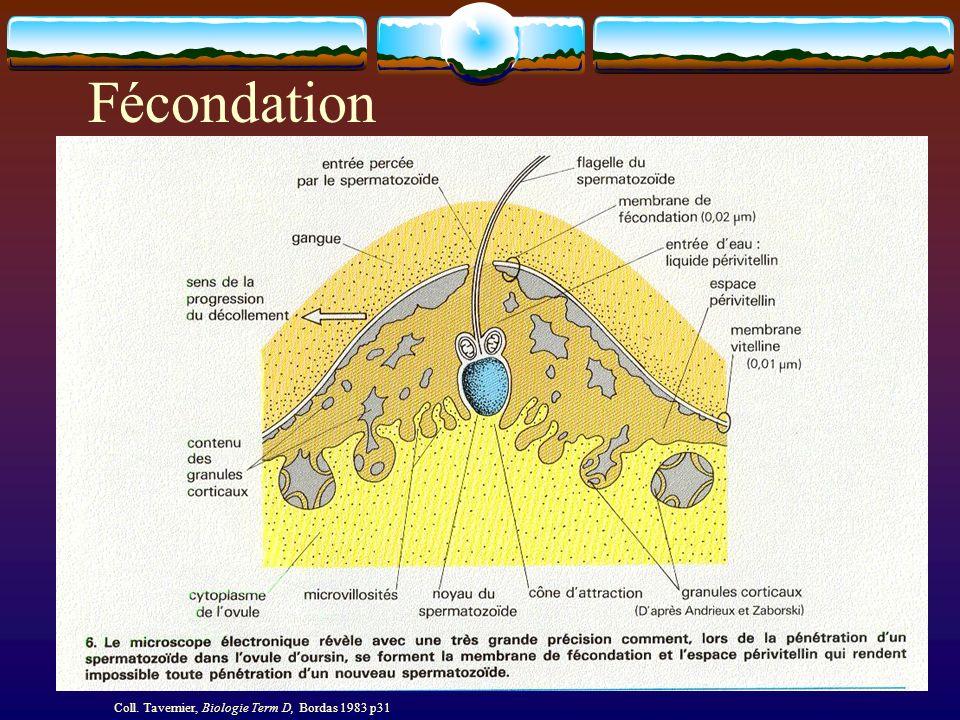 Fécondation Coll. Tavernier, Biologie Term D, Bordas 1983 p32