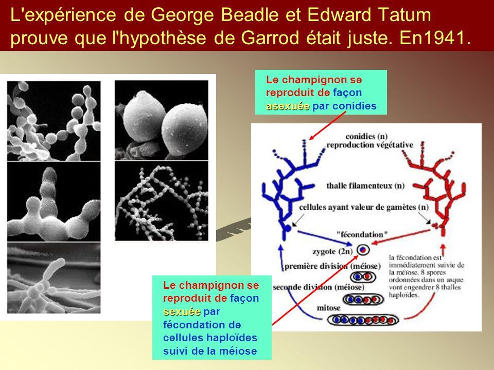 L'expérience de George Beadle et Edward Tatum prouve que l'hypothèse de Garrod était juste. En1941. asexuée Le champignon se reproduit de façon asexué