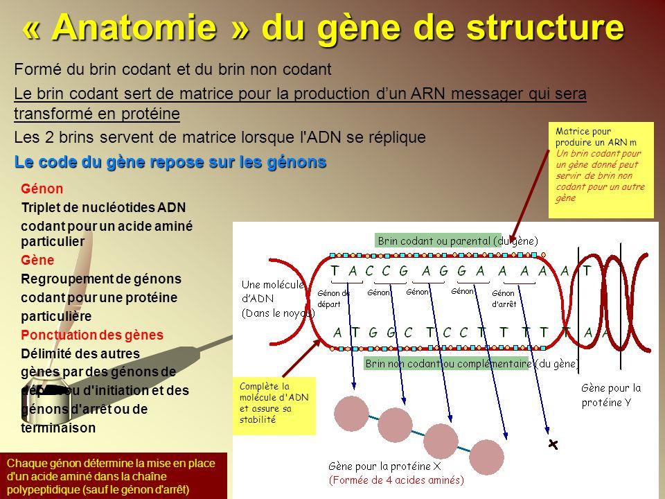 « Anatomie » du gène de structure Génon Triplet de nucléotides ADN codant pour un acide aminé particulier Gène Regroupement de génons codant pour une