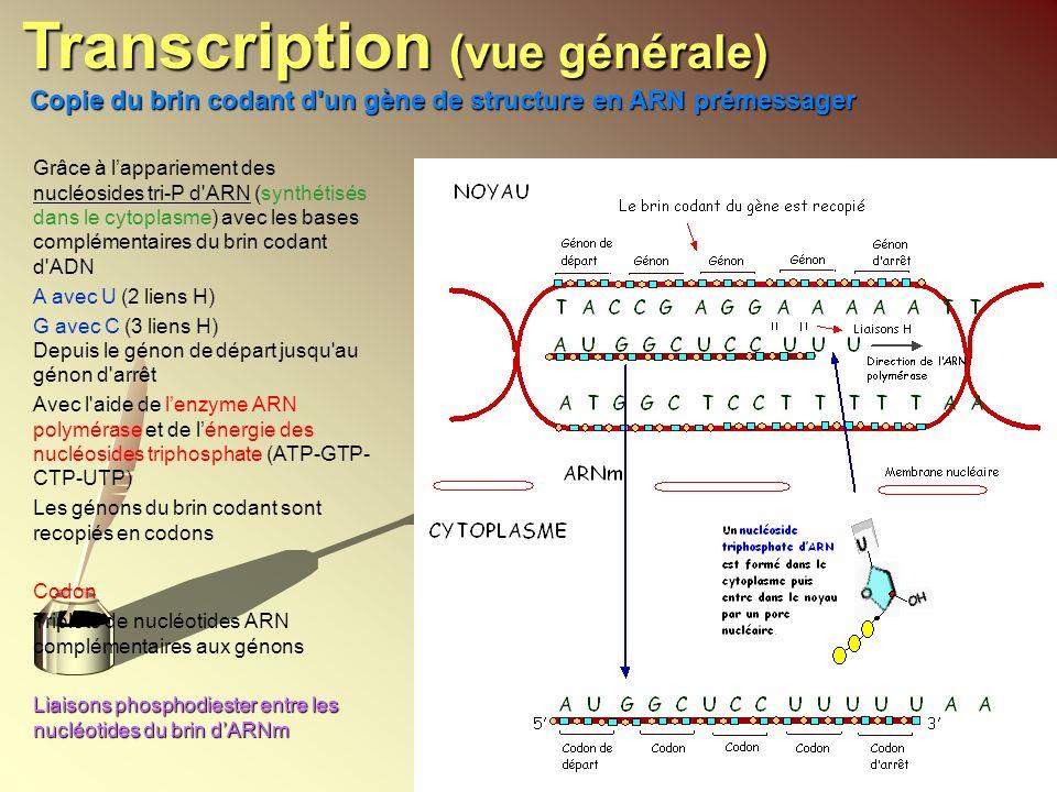 Grâce à lappariement des nucléosides tri-P d'ARN (synthétisés dans le cytoplasme) avec les bases complémentaires du brin codant d'ADN A avec U (2 lien