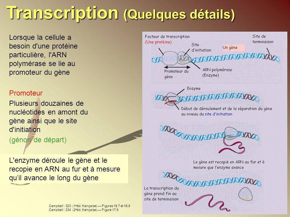 Lorsque la cellule a besoin d'une protéine particulière, l'ARN polymérase se lie au promoteur du gène Promoteur Plusieurs douzaines de nucléotides en