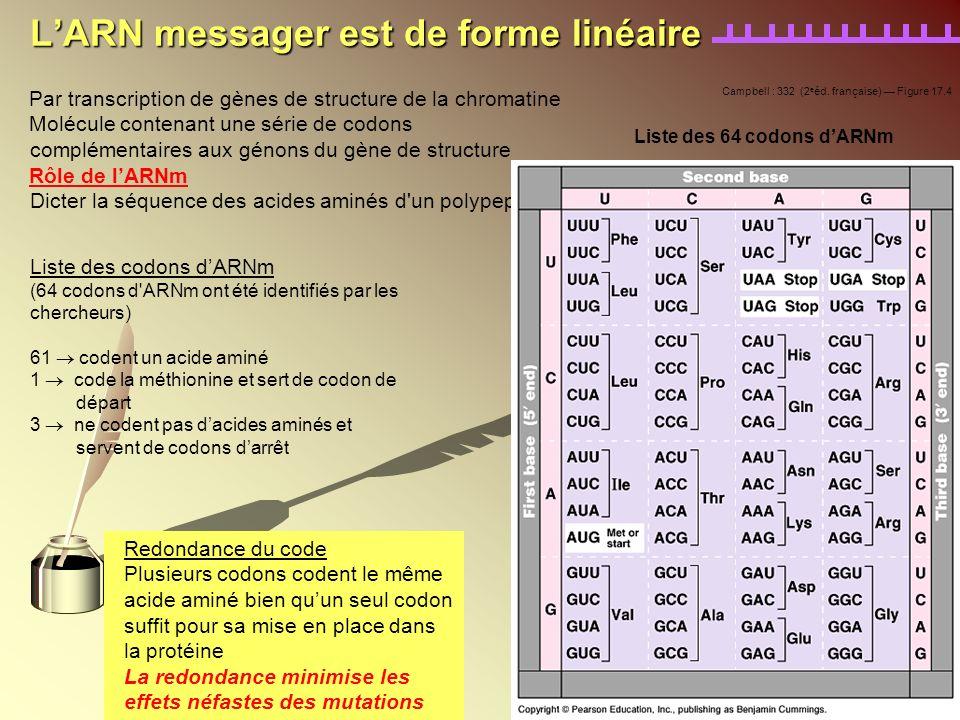 LARN messager est de forme linéaire Par transcription de gènes de structure de la chromatine Molécule contenant une série de codons complémentaires au