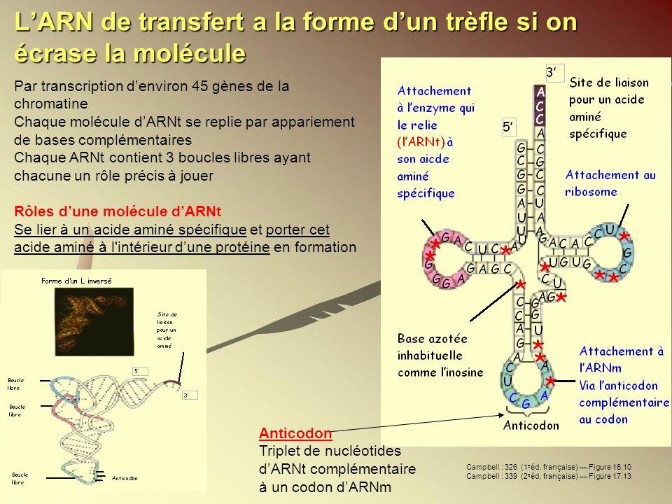 LARN de transfert a la forme dun trèfle si on écrase la molécule Par transcription denviron 45 gènes de la chromatine Chaque molécule dARNt se replie
