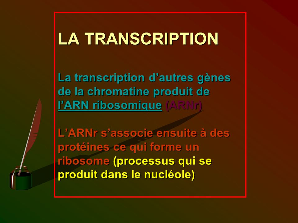 LA TRANSCRIPTION La transcription dautres gènes de la chromatine produit de lARN ribosomique (ARNr) LARNr sassocie ensuite à des protéines ce qui form