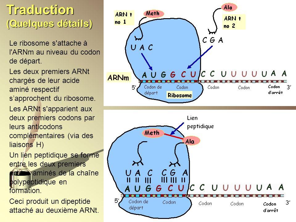 Traduction (Quelques détails) Le ribosome s'attache à l'ARNm au niveau du codon de départ. Les deux premiers ARNt chargés de leur acide aminé respecti