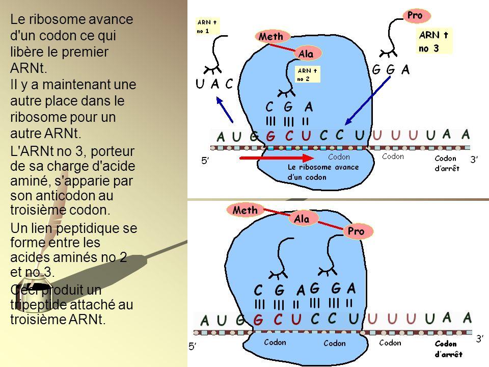 Le ribosome avance d'un codon ce qui libère le premier ARNt. Il y a maintenant une autre place dans le ribosome pour un autre ARNt. L'ARNt no 3, porte