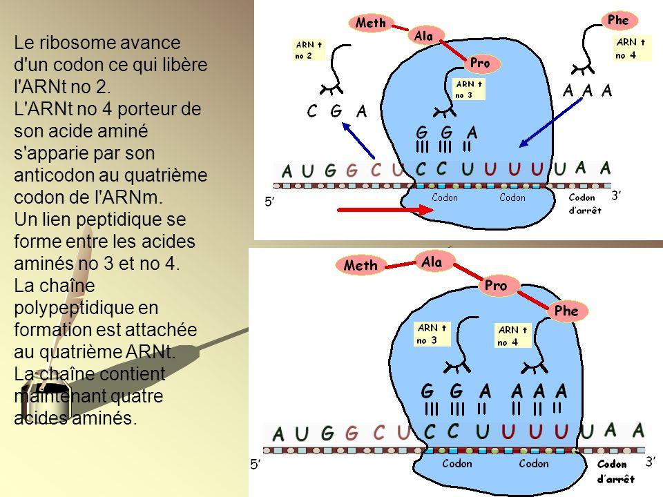 Le ribosome avance d'un codon ce qui libère l'ARNt no 2. L'ARNt no 4 porteur de son acide aminé s'apparie par son anticodon au quatrième codon de l'AR