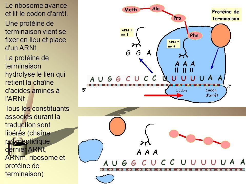 Le ribosome avance et lit le codon d'arrêt. Une protéine de terminaison vient se fixer en lieu et place d'un ARNt. La protéine de terminaison hydrolys