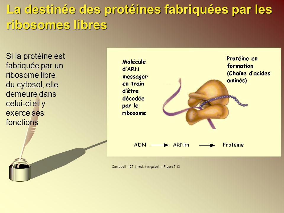 La destinée des protéines fabriquées par les ribosomes libres Si la protéine est fabriquée par un ribosome libre du cytosol, elle demeure dans celui-c