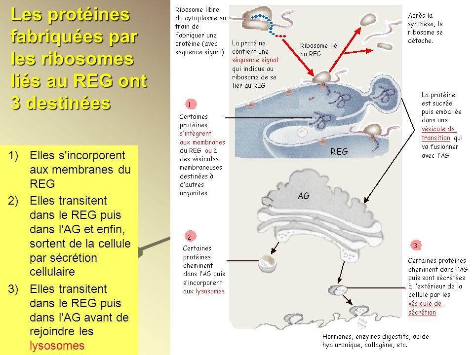 Les protéines fabriquées par les ribosomes liés au REG ont 3 destinées 1)Elles s'incorporent aux membranes du REG 2)Elles transitent dans le REG puis