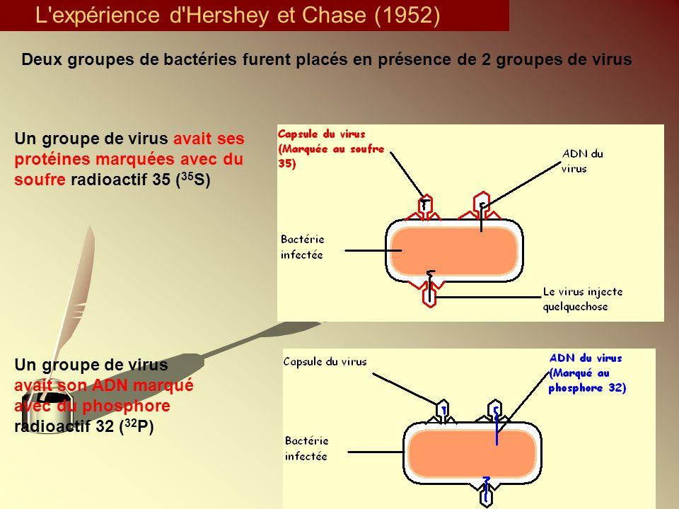 L'expérience d'Hershey et Chase (1952) Deux groupes de bactéries furent placés en présence de 2 groupes de virus Un groupe de virus avait son ADN marq