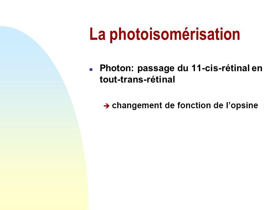 2.2 La photoréception n Photoisomérisation du rétinal n La transduction