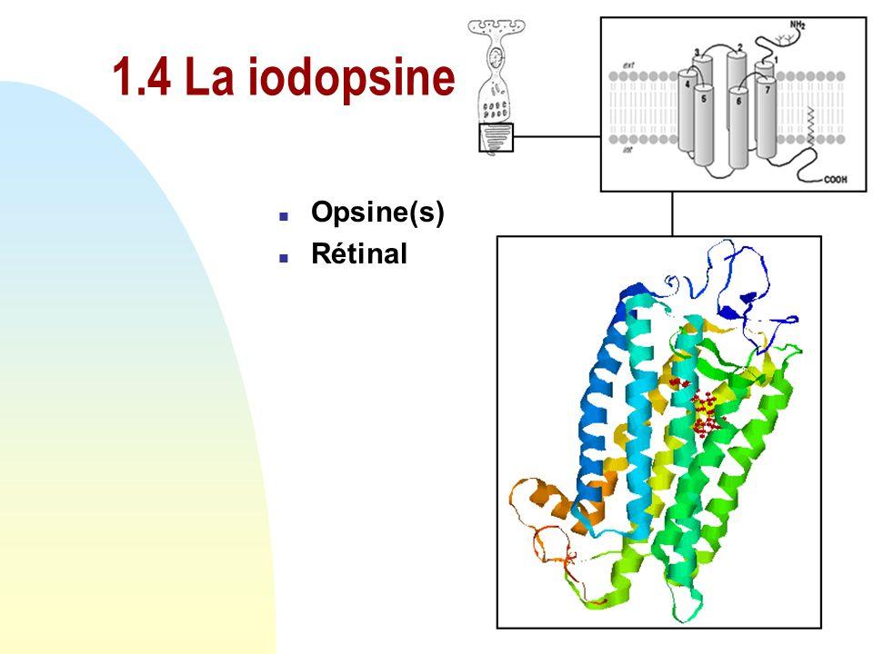 n Structure cellulaire u segment interne u segment externe n Différence entre les cônes u S - Bleu u M - Vert u L - Rouge