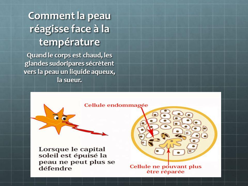 Comment la peau réagisse face à la température Quand le corps est chaud, les glandes sudoripares sécrètent vers la peau un liquide aqueux, la sueur.