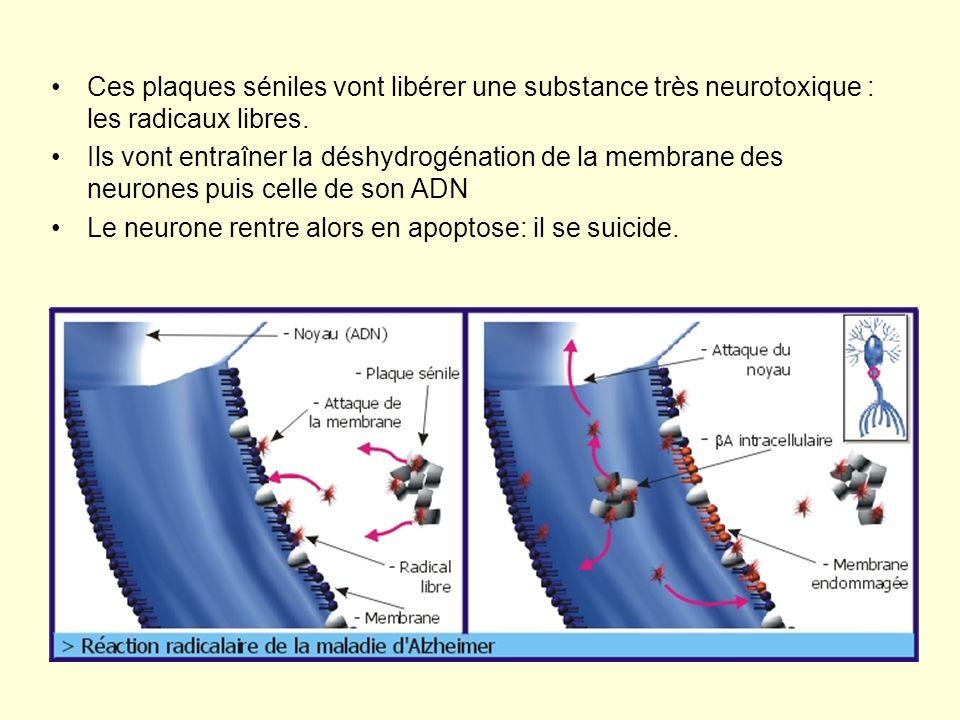Ces plaques séniles vont libérer une substance très neurotoxique : les radicaux libres. Ils vont entraîner la déshydrogénation de la membrane des neur