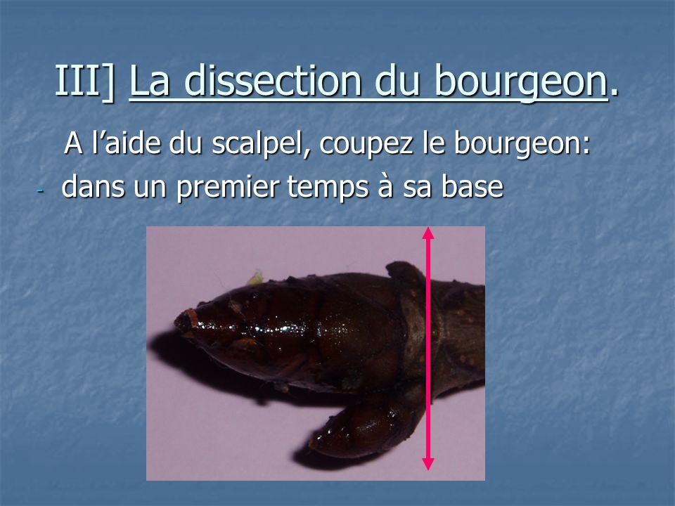 III] La dissection du bourgeon. A laide du scalpel, coupez le bourgeon: A laide du scalpel, coupez le bourgeon: - dans un premier temps à sa base