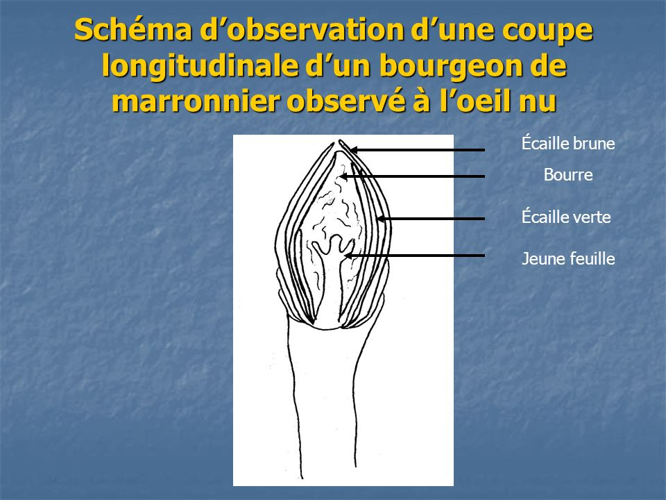 Schéma dobservation dune coupe longitudinale dun bourgeon de marronnier observé à loeil nu Écaille brune Bourre Jeune feuille Écaille verte