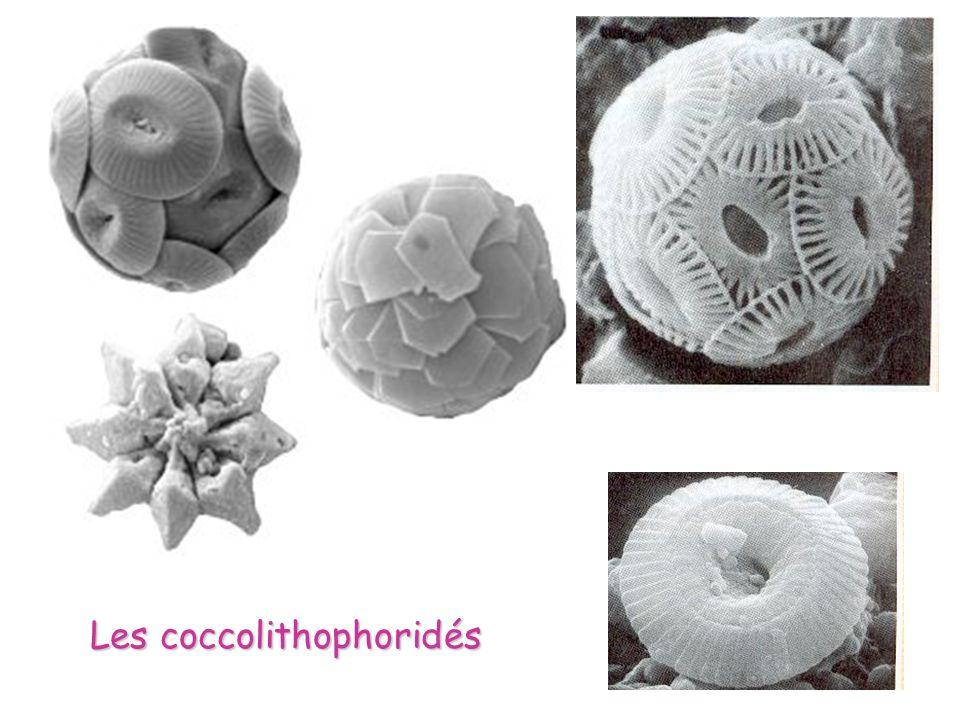 Les coccolithophoridés