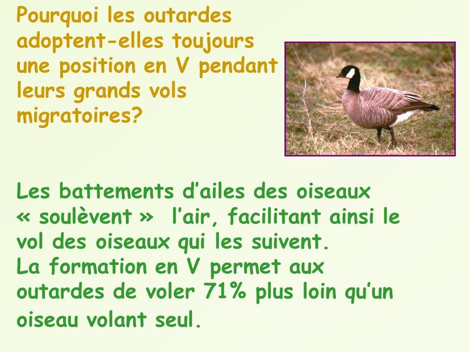 Pourquoi les outardes adoptent-elles toujours une position en V pendant leurs grands vols migratoires? Les battements dailes des oiseaux « soulèvent »
