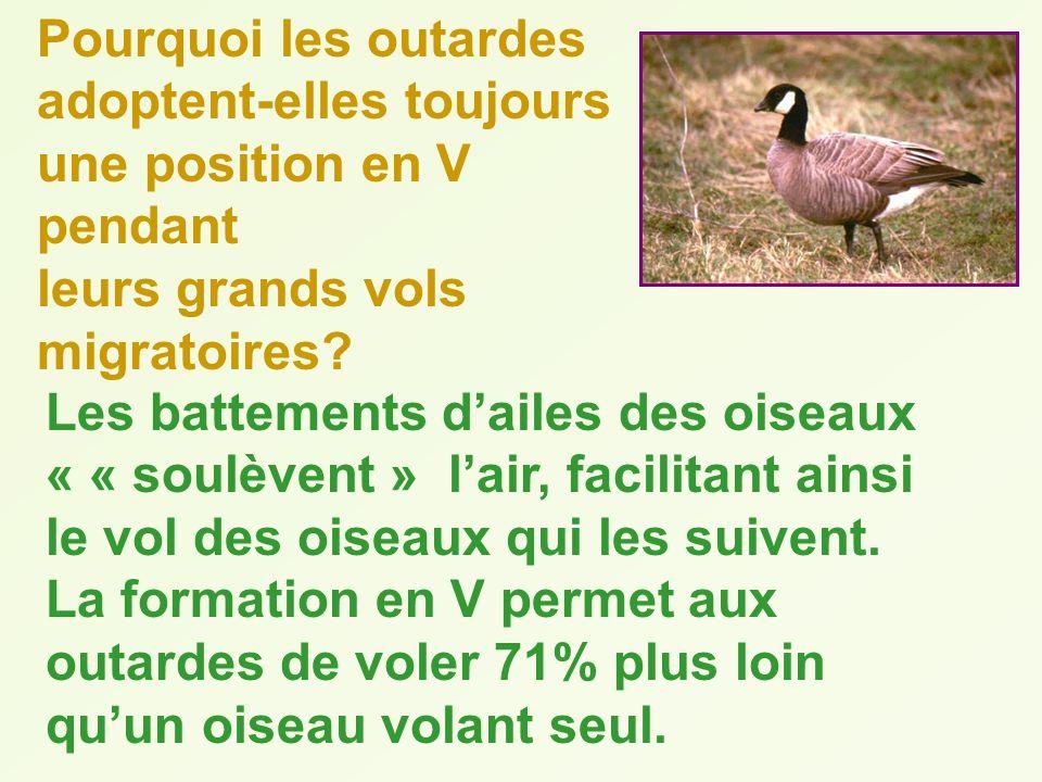 Pourquoi les outardes adoptent-elles toujours une position en V pendant leurs grands vols migratoires? Les battements dailes des oiseaux « « soulèvent