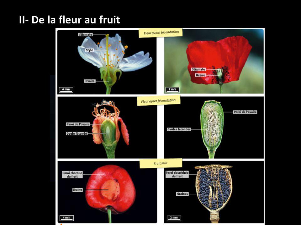 Schéma de CL de fleur hermaphrodite Schéma de CL de fruit