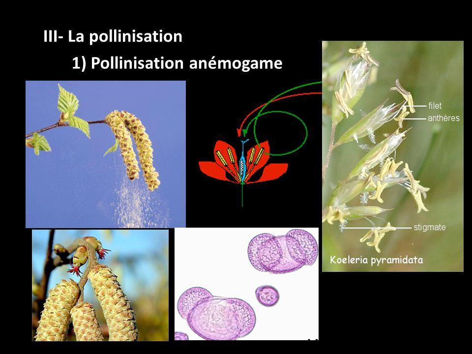 1) Pollinisation anémogame III- La pollinisation