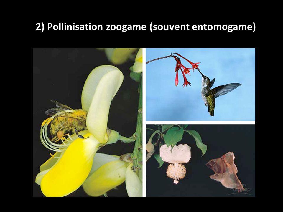 2) Pollinisation zoogame (souvent entomogame)