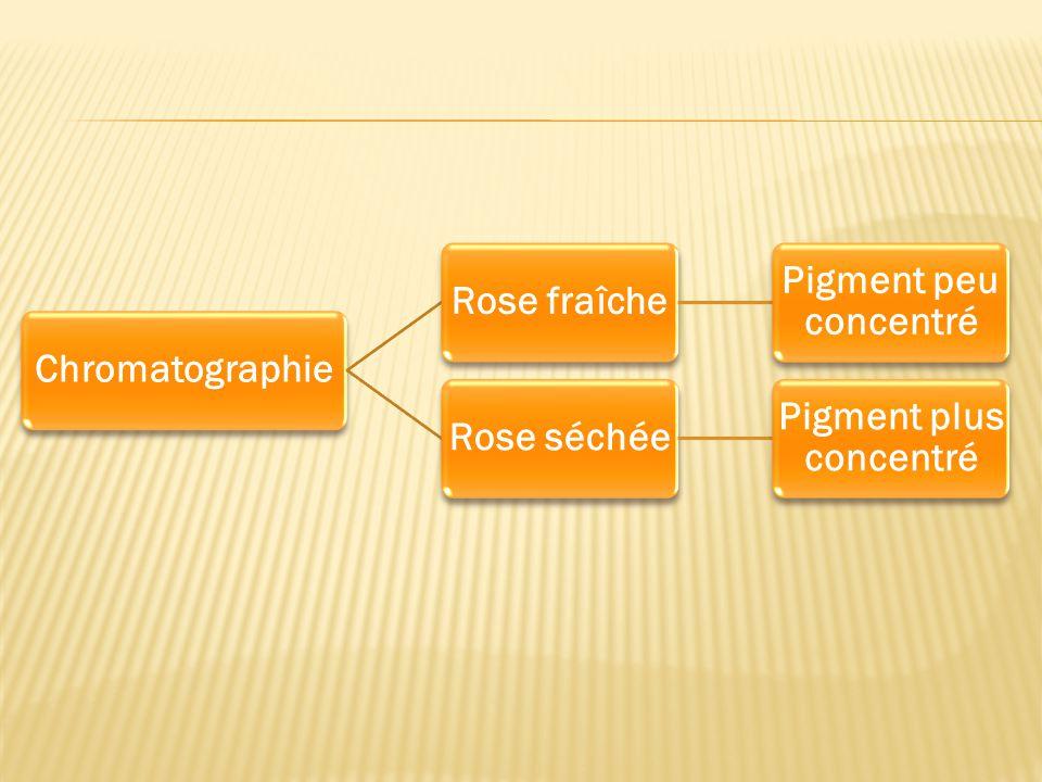 ChromatographieRose fraîche Pigment peu concentré Rose séchée Pigment plus concentré