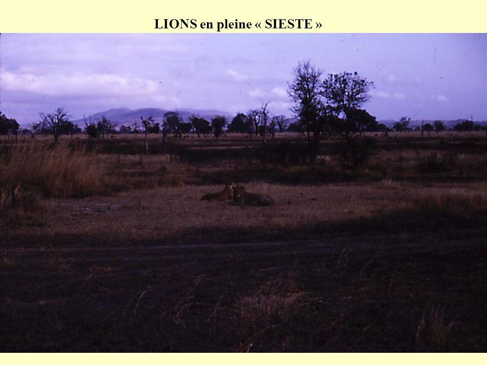 LIONS en pleine « SIESTE »