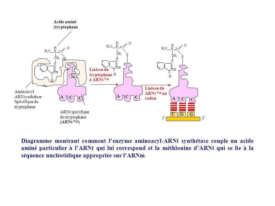 Facteur dinhibition lié à la petite sous unité ribosomale ARNt initiateur Met 3` 5` ARNm AUG Liaison de lARNm Met 3` ` 5` ARNm Reconnaissance du codon dinitiation AUG Met aa Liaison de la grande sous unité ribosomale Dissociation des facteurs dinitiation Met 5`3` Liaison des aminoacylARNt (étape 1) aa Première liaison peptidique formée (étape 2) Met 5` Phase dinitiation de la synthèse protéique aa