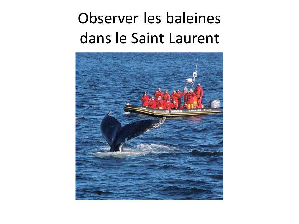 Observer les baleines dans le Saint Laurent