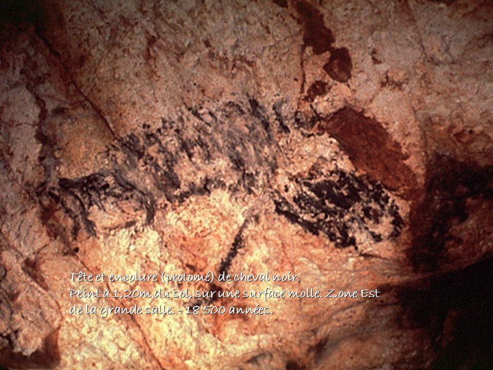 Tête et encolure (protomé) de cheval noir. Peint à 1,20m du sol, sur une surface molle. Zone Est de la grande salle. - 18 500 années.