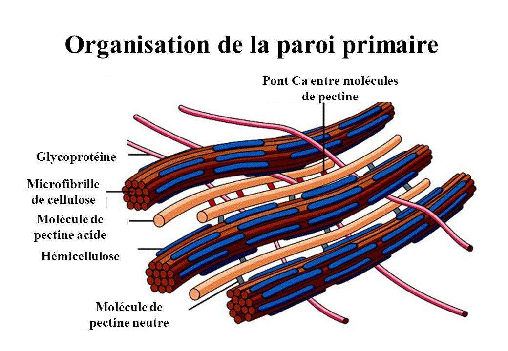 10 Organisation de la paroi primaire Pont Ca entre molécules de pectine Molécule de pectine neutre Hémicellulose Glycoprotéine Microfibrille de cellulose Molécule de pectine acide