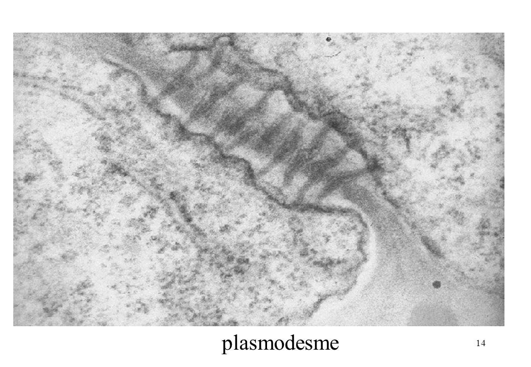 14 plasmodesme