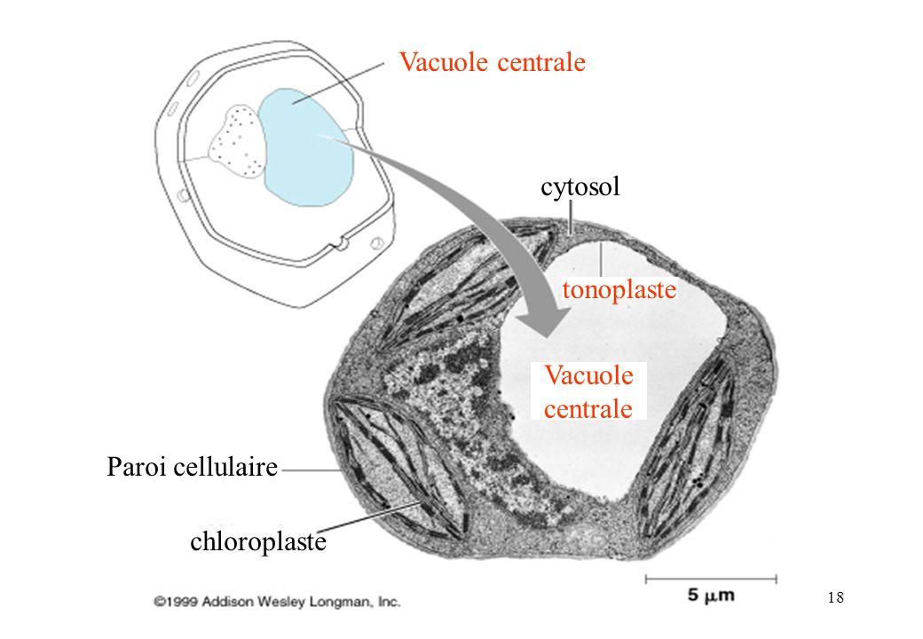 18 Paroi cellulaire chloroplaste Vacuole centrale cytosol tonoplaste Vacuole centrale