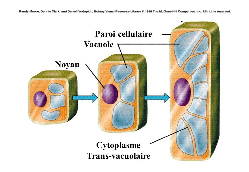 20 Noyau Vacuole Paroi cellulaire Cytoplasme Trans-vacuolaire